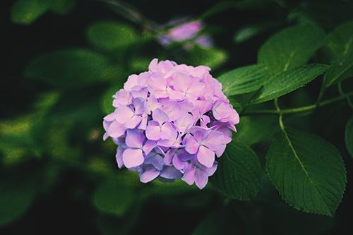 めずらしく天に向かって伸びている紫陽花(あじさい)のフリー写真素材(商用可)