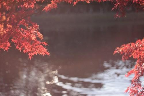 紅葉越しに眺める池のフリー写真素材(商用可)