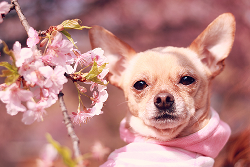 コッチを見ているようでもっと後ろの何かを見つめているわんちゃんと桜のフリー写真素材(商用可)