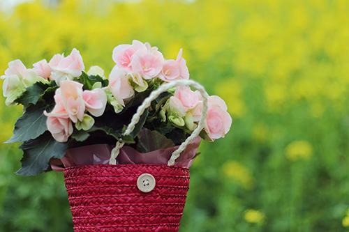 美しい菜の花畑とピンクのお花のフリー写真素材(商用可)