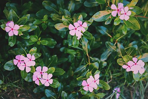 南国に咲く小さなピンクの花のフリー写真素材(商用可)