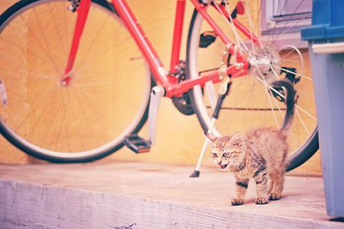 いっちょまえに威嚇しているイタリアのかわいい子猫のフリー写真素材(商用可)