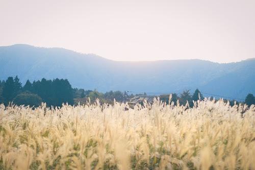 黄金色のススキと深緑色の山と森のフリー写真素材(商用可)