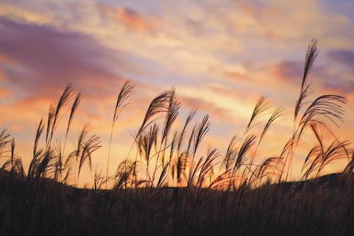 美しい夕焼け空の下で風にそよぐススキのフリー写真素材(商用可)