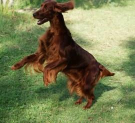En la foto nuestro ejemplar Flannan's Angel Star, Jamie. Ejemplo de un perro realizando ejercicio; corriendo, jugando y dando brincos libremente por el campo… como se puede observar, ¡¡¡ UN PERRO FELIZ !!!