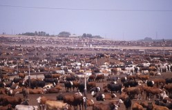 http://i2.wp.com/global-warming-truth.com/images/livestock-factory-farming.jpg?resize=249%2C159