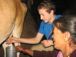 Milking cows