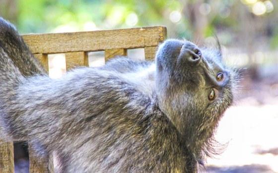 Matt the Baboon | Global Animal Welfare Development Society