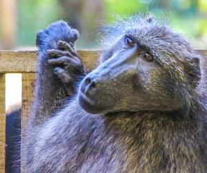 Matt the Baboon   Global Animal Welfare Development Society