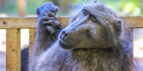 Matt the Baboon | Global Animal Welfare Development Society