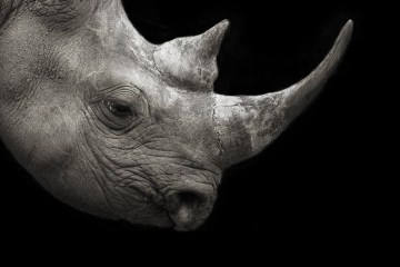 Rhino-Background