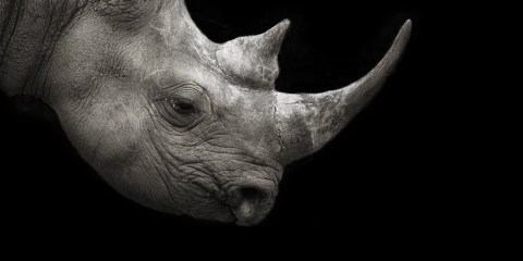 Rhino-Background