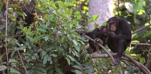 Chimpanzee Rehabilitation Project