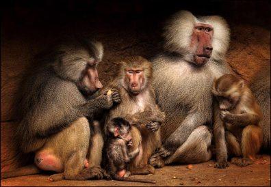 Baboon Family | Sonja Probst