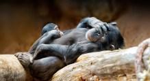 Chimp Family | Sonja Probst