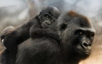 Gorilla Family | Sonja Probst