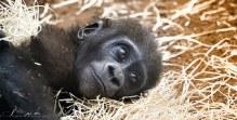 Baby Gorilla | Sonja Probst