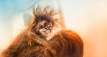Orangutan Family | Sonja Probst