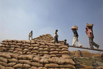 Labourers shift sacks filled with paddy crop at a wholesale grain market in Chandigarh October 22, 2013. REUTERS/Ajay Verma/Files