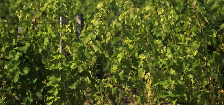 ITB Bordeaux Vine
