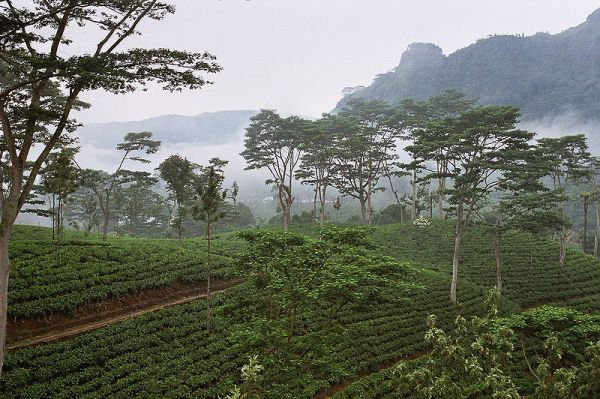 Tea plantation in Sri Lanka. Photo by Anjadora.