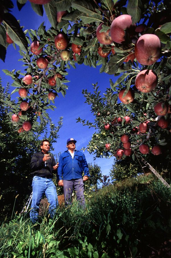 Apple orchard near West Parker Heights, Washington. Photo by  the Agricultural Research Service.