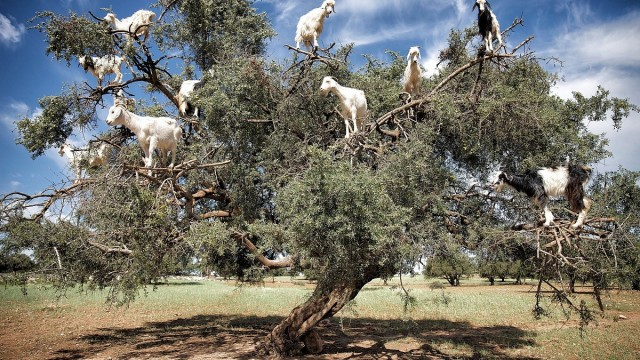 15 curiosità dal Mondo: Capre sull'albero