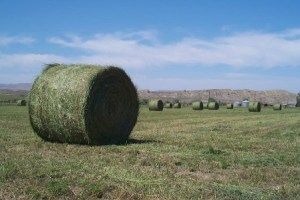 Round bales of alfalfa.  Image taken by צ'כלברה.