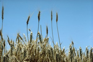 Wheat in Kansas, Photo by David F. Warren, USDA
