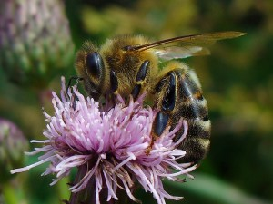 European honey bee (Apis mellifera).  Photo by Artūras Rožė/Wikipedia.