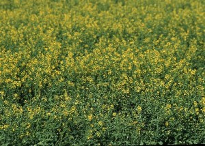 A field of Canola growing in Manhattan, Kansas.  Photo by Jeff Vanuga/NRC.