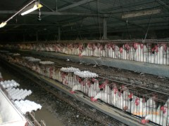 Animals in crowded conditions are treated with antibiotics to promote growth.