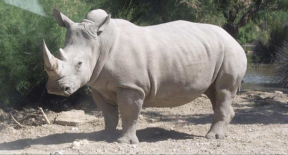 rinoceronte Gabriel Morales
