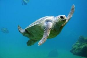tortuga marina Morales Fallon