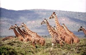 giraffe Morales Fallon