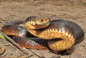 serpiente maroon Morales Fallon