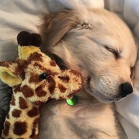 Dulce y tierno sleep sleping goldenretriever golden instapet instadog instalovehellip