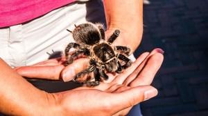 tarantula Morales Fallon