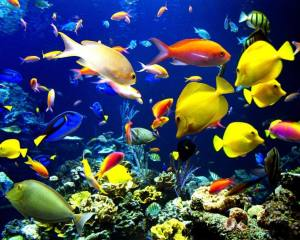 peces ornamentales Morales Fallon