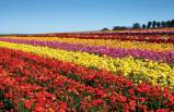 flowerfield3