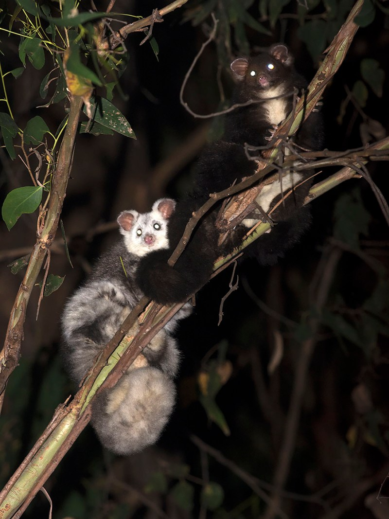 This pair of Greater Glider was a highlight of the night