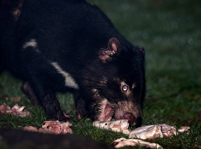 Tasmanian Devil with obvious early stage facial tumour
