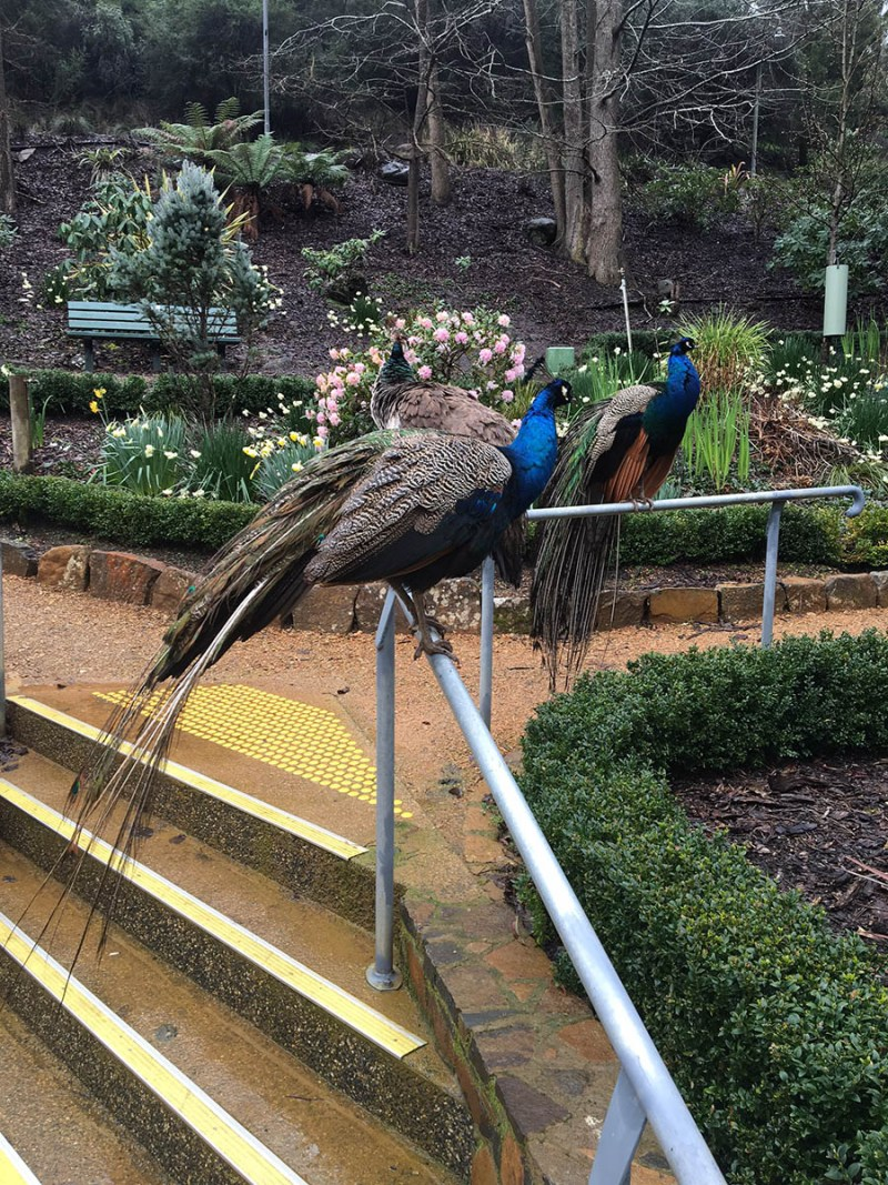 Dodgy Peafowl at Cataract Gorge
