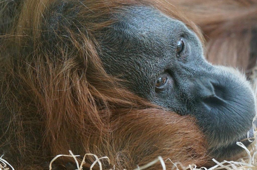 """""""All'orango io ci tengo"""" , il progetto a tutela dell'orango di Sumatra"""