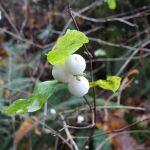 White berries