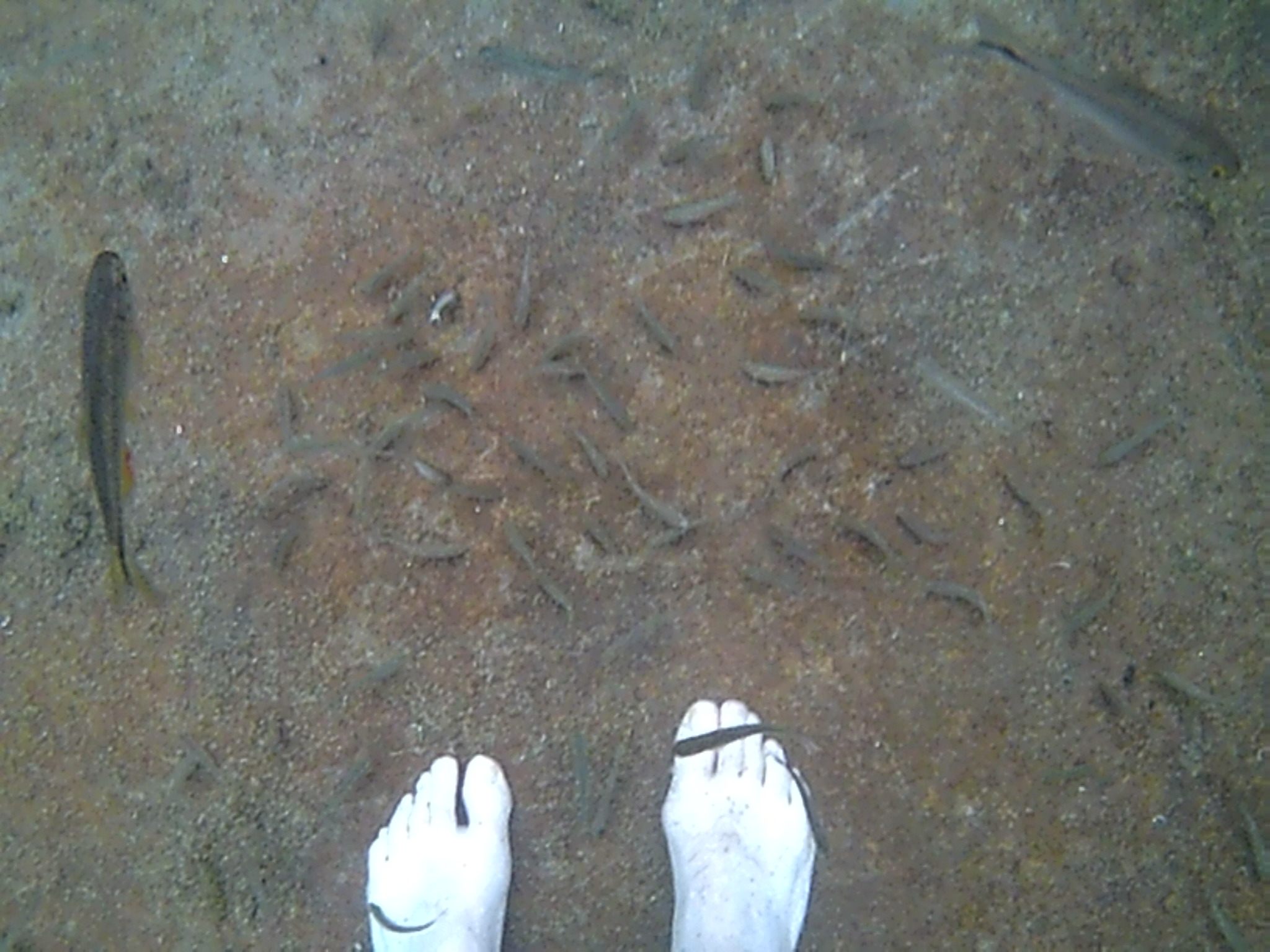 A bunch of minnow around my feet at San Salomon Springs