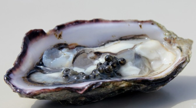 The Osoyoos Oyster Festival Returns, April 22-25