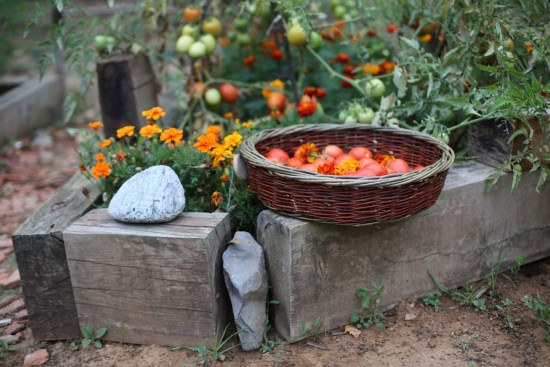garden tomatoes & marigold - 1 (5)