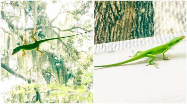 geckos (1 of 1)