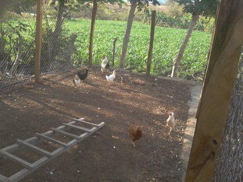 las gallinas y el gallo